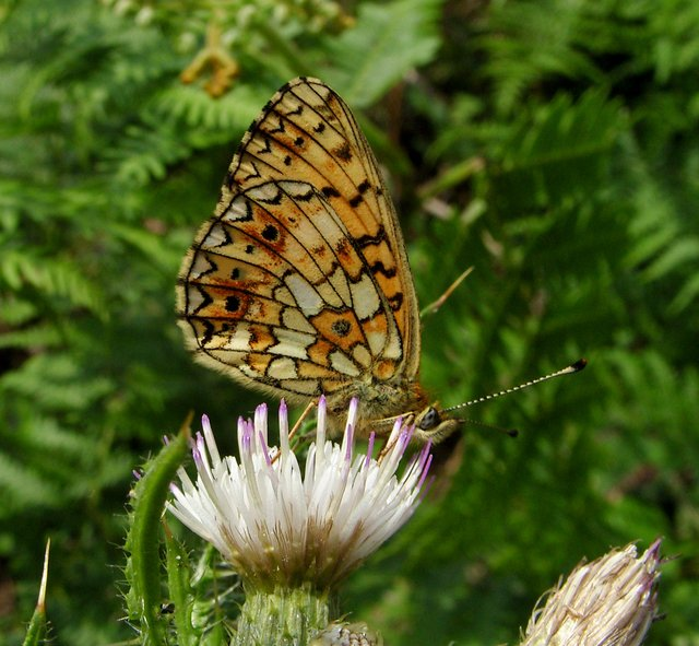 fritilliary butterfly
